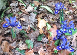 blue dwarf iris Harmoney