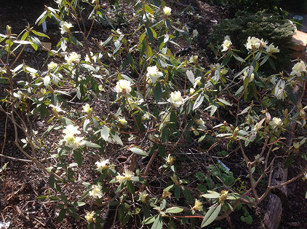 very pale yellow rhododendron